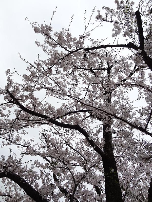 グランド桜
